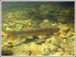 Ranbow trout under water photo