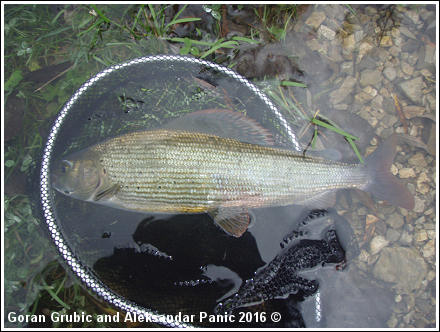 Grayling on BWO fly